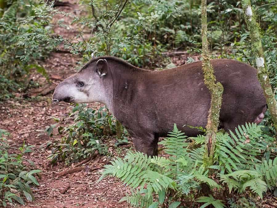 tapir salta