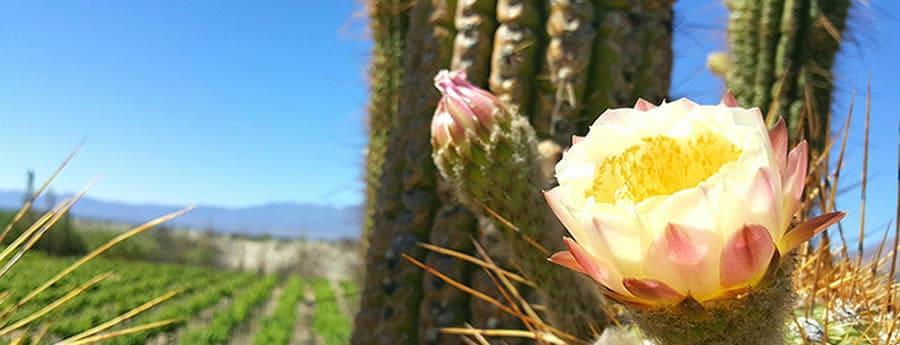 cardon en flor en cafayate